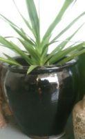 Glazed Tree Planter 770 x 670 H mm - Size 3 - Black